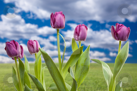 Purple Tulips Over Grass Field and Sky stock photo, Beautiful Purple Tulips Over Empty Grass Field and Sky with Clouds. by Andy Dean