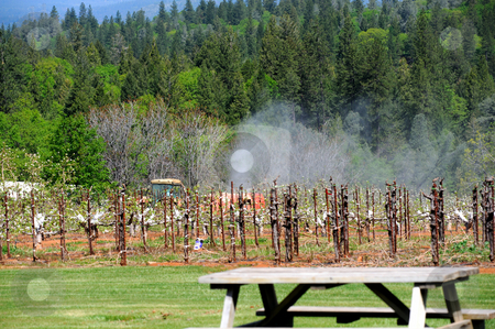 Fogging New Orchard stock photo, Tractor pulling a insecticide fogger to protect new fruit trees in an orchard in the countryside. Focus is on the tractor and mist billowing over and behind the young trees with a forest of Oaks and Pine on the hillside in the background. by Lynn Bendickson