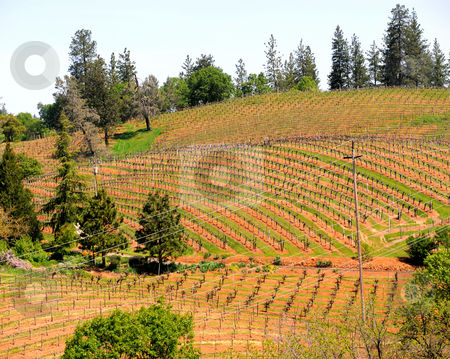 Hillside Vineyard stock photo, Rows of grapevines span the rolling hillsides of a California winery starting their springtime growth. Each row separated by green grass and red dirt with power lines and poles binging electricity to the farm. Native Pines and Firs grow throughout the property giving a nice country look. by Lynn Bendickson