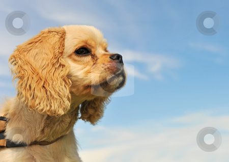 Puppy american cocker stock photo, Portrait of a purebred puppy american coker in a blue sky by Bonzami Emmanuelle
