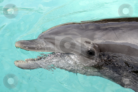 Bottle-nose Dolphin, close-up stock photo, A close-up of a bottle-nose dolphin. by Carl Stewart