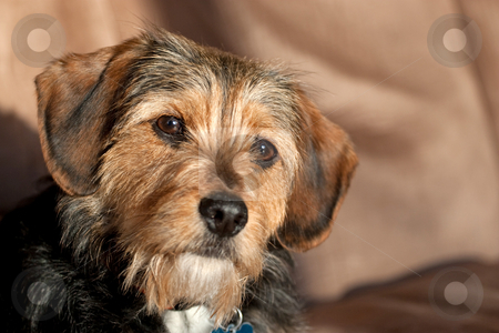 Yorkie Mix Dog stock photo - Download adorable Royalty Free Images ...