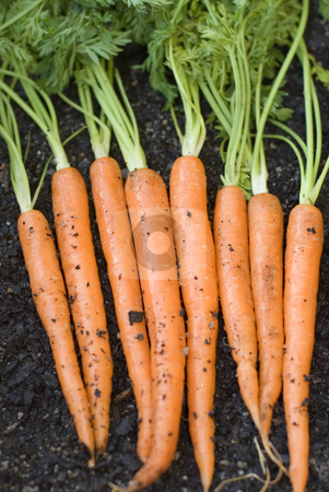 Harvested carrots stock photo, A row of carrots fresh from the garden by Stephen Gibson