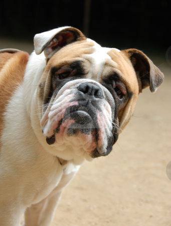 Young english bulldog stock photo, Portrait of a purebred young english bulldog by Bonzami Emmanuelle