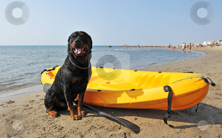 Rottweiler on the beach stock photo, Portrait of a purebred rottweiler on the beach by Bonzami Emmanuelle