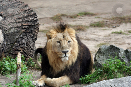 Adult male lion stock photo, Portait of adult male lion resting outdoors. by Martin Crowdy