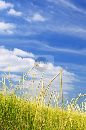 Tall grass on sand dunes stock photo, Tall green grass growing on sand dunes against cloudy sky by Elena Elisseeva