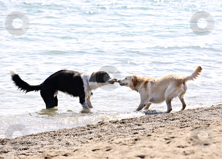 Two dogs playing on beach stock photo, Two dogs playing tug of war with stick on the beach by Elena Elisseeva