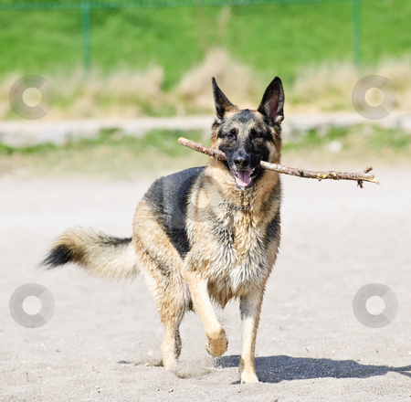 German Shepherd dog on beach stock photo, Healthy and active German Shepherd dog fetching stick on beach by Elena Elisseeva