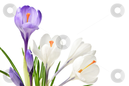 Spring crocus flowers stock photo, White and purple spring crocus flowers isolated on white background by Elena Elisseeva