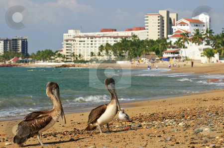 Pelicans on beach in Mexico stock photo, Pelicans on Puerto Vallarta beach in Mexico by Elena Elisseeva