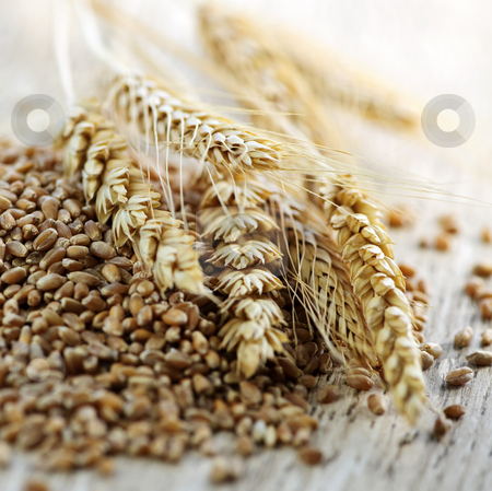 Whole grain wheat kernels closeup stock photo, Closeup on pile of organic whole grain wheat kernels and ears by Elena Elisseeva
