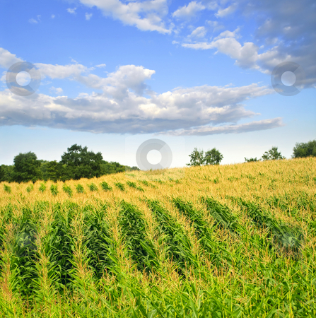 Corn field stock photo, Agricultural landscape of corn field on small scale sustainable farm by Elena Elisseeva