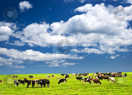Cows in pasture stock photo, Cows grazing in a green pasture on sustainable small scale farm by Elena Elisseeva