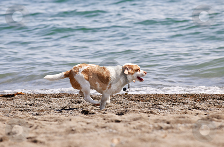 Dog running on beach stock photo, Small wet dog running along a sandy beach by Elena Elisseeva