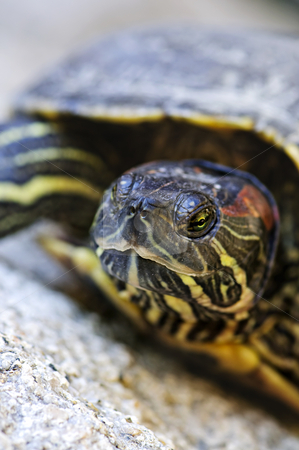 Red eared slider turtle stock photo, Close up of red eared slider turtle sitting on rock by Elena Elisseeva