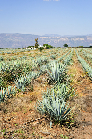 Agave cactus field in Mexico stock photo, Agave cactus field near Tequila in Mexico by Elena Elisseeva