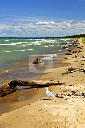 Beach with driftwood stock photo, Driftwood on sandy beach with waves and seagull. Pinery provincial park, Ontario Canada by Elena Elisseeva