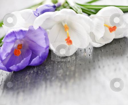 Spring crocus flowers stock photo, Fresh cut white and purple spring crocus flowers by Elena Elisseeva
