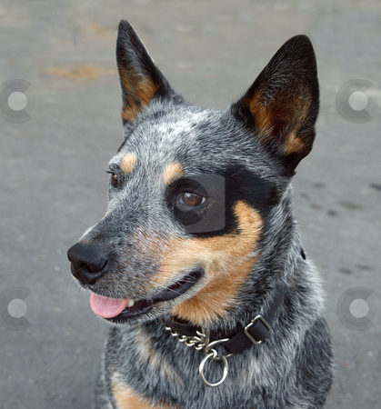 Blue Heeler Puppies on Australian Blue Heeler Stock Photo  Australian Cattle Dog With Black