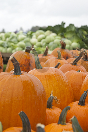 Pumpkins for sale stock photo, Lots of pumpkins for sale at the pumpkin patch. by Christy Thompson