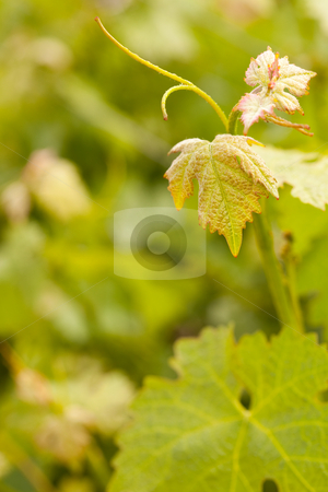 Beautiful Lush Grape Vineyard Leaves stock photo, Beautiful Grape Vineyard Leaves In The Morning Mist and Sun with Room for Your Own Text. by Andy Dean