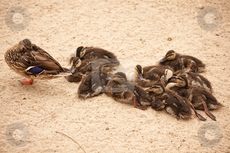 Mother Mallard Duck Rests with Ducklings stock photo, Mother Mallard Duck Rests with Ducklings Behind Her. by Andy Dean