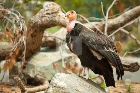 The Endangered California Condor stock photo, The Endangered California Condor Standing on Rock. by Andy Dean