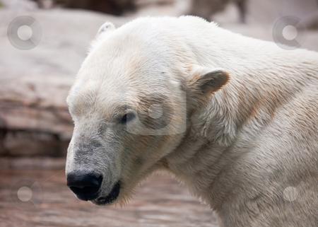 Majestic Polar Bear Profile stock photo, Beautiful Majestic White Polar Bear Profile Image. by Andy Dean