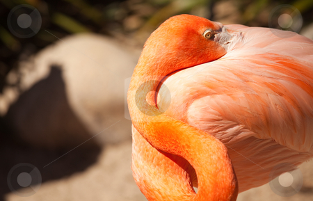 Beautiful Flamingo Rests stock photo, Beautiful Flamingo Rests In The Warm Morning Light. by Andy Dean