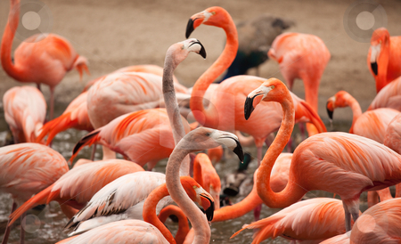 Flock of Beautiful Flamingos stock photo, Flock of Beautiful Flamingos with narrow Depth of Field. by Andy Dean
