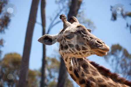 Close-up of Giraffe Head stock photo, Close-up of a Majestic Giraffe Head with Narrow Depth of Field. by Andy Dean