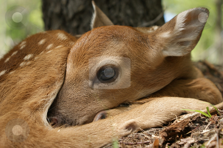 New Born stock photo, New born deer getting worm in the afternoon sun. by Ken VanGorder