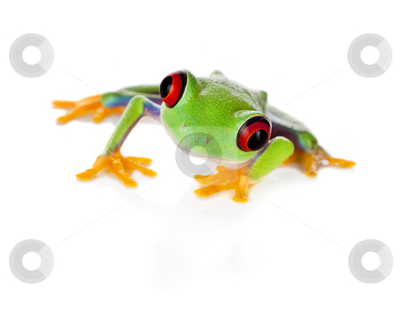 Red eyed frog isolated on white stock photo, Red eyed tree frog isolated on white by Anneke