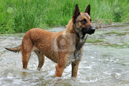 Malinois stock photo, Portrait of a belgian sheepdog malinois in a river by Bonzami Emmanuelle