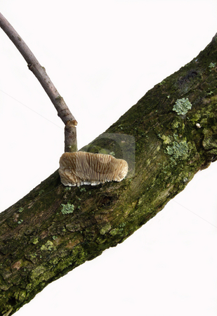 Gilled Polypore Mushroom stock photo,  by Kathy Piper