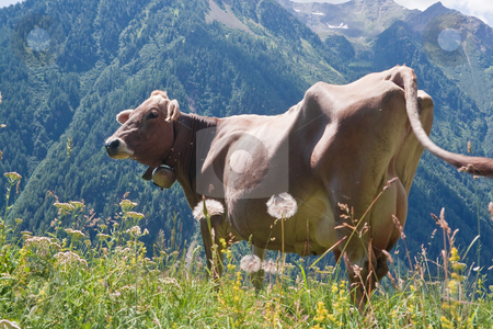 Cow on pasture stock photo, Beautiful cow free on a high pasture in Italian Alps by ANTONIO SCARPI