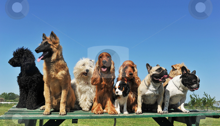 Nine dogs stock photo, Group of puppies purebred dogs on a table by Bonzami Emmanuelle