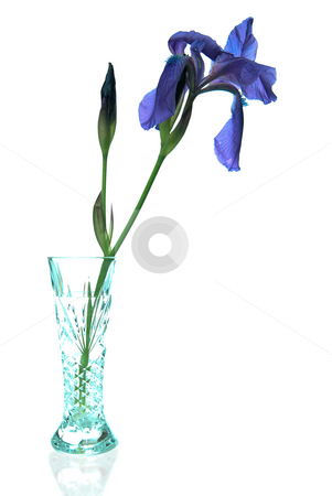 Iris Vase stock photo, A single iris flower in a crystal vase, isolated against a white background. by Richard Nelson