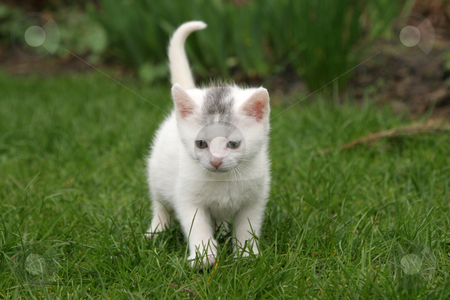 Alone in the garden stock photo, Cute little kitten walking around in the garden by Simone Van den Berg