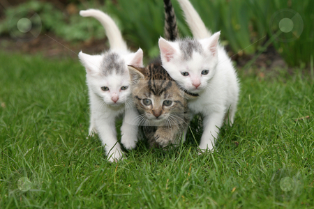 Staying close together stock photo, Small kittens walking in the garden close together by Simone Van den Berg