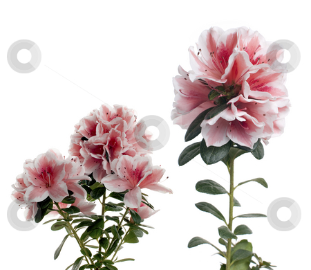 Azalea stock photo, Azalea isolated on white background. by Homydesign