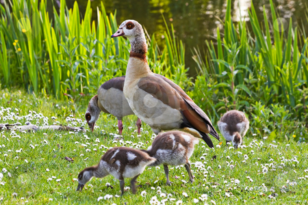 Egyptian goose family in spring stock photo, Egyptian goose family in spring grazing in evening sunshine by Colette Planken-Kooij