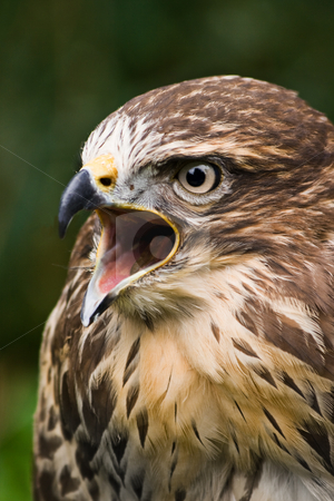 Screaming buzzard stock photo, Portrait of screaming buzzard with green background by Colette Planken-Kooij
