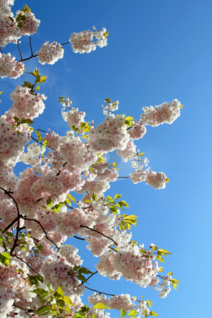 Spring tree blossom against a blue sky. stock photo, Spring tree blossom against a blue sky. by Stephen Rees
