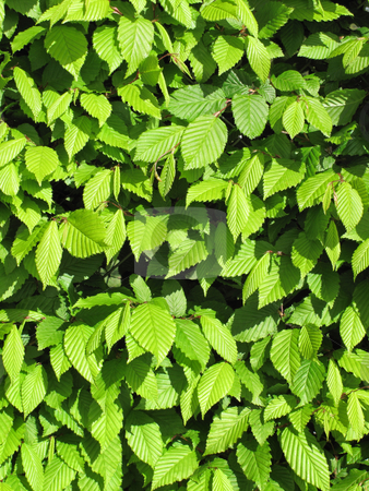New fresh spring green leaves growing in a hedge. stock photo, New fresh spring green leaves growing in a hedge. by Stephen Rees