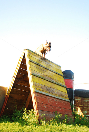 Belgian shepherd stock photo, Purebred belgian shepherd cute watching dog jumping over an obstacle by Tudor Antonel adrian