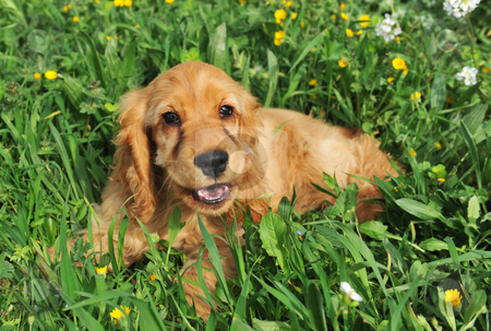 Puppy  cocker spaniel stock photo, Portrait of a purebred puppy  coker spaniel in the grass by Bonzami Emmanuelle
