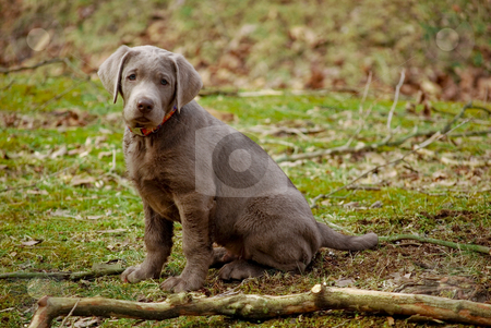 Silver  Puppies on Silver Lab Puppy Stock Photo  The Rare And Cute Silver Lab Puppy