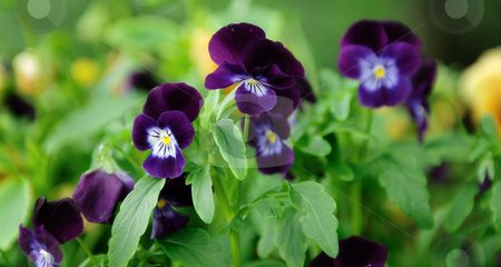 Pansies stock photo, Purple Pansies also known as Viola Tricolor surrounded by greenery by Richard Nelson